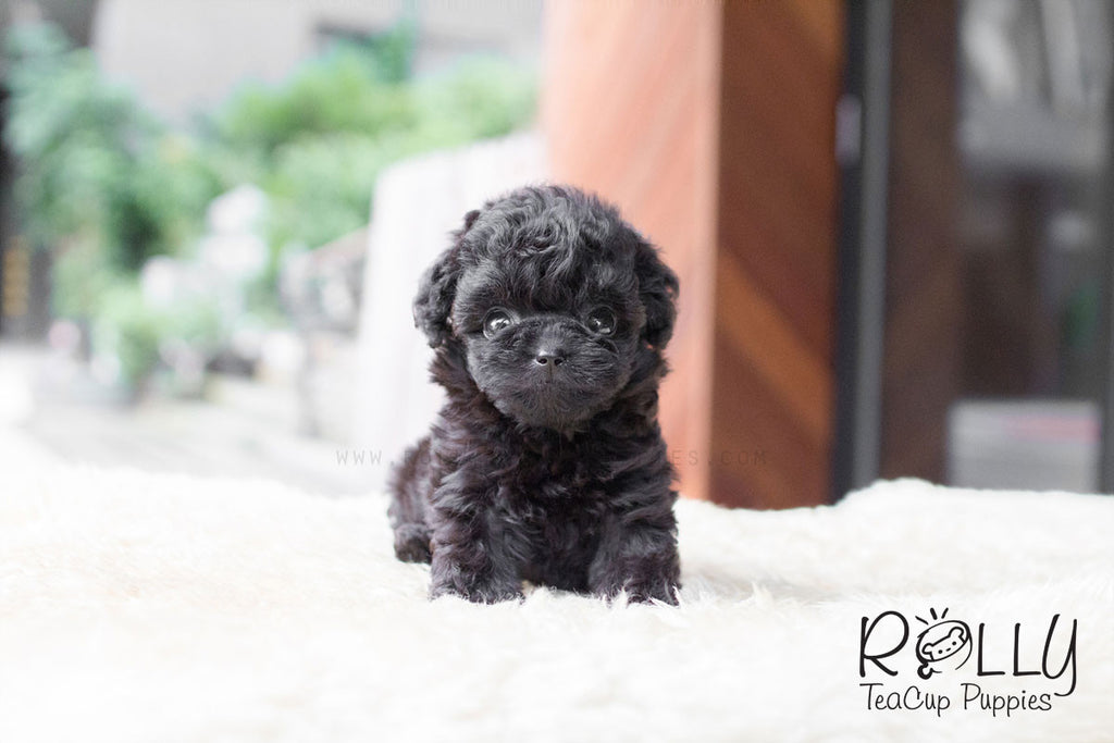 Gigi - Poodle - Rolly Teacup Puppies - Rolly Pups