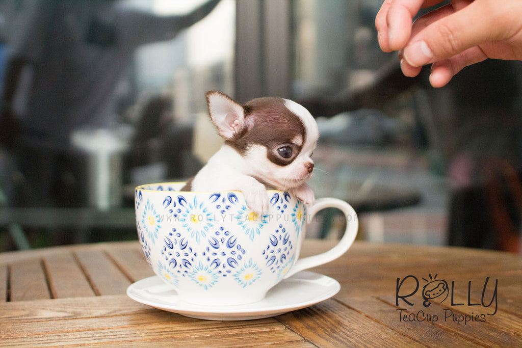 Gina - Chihuahua - Rolly Teacup Puppies - Rolly Pups