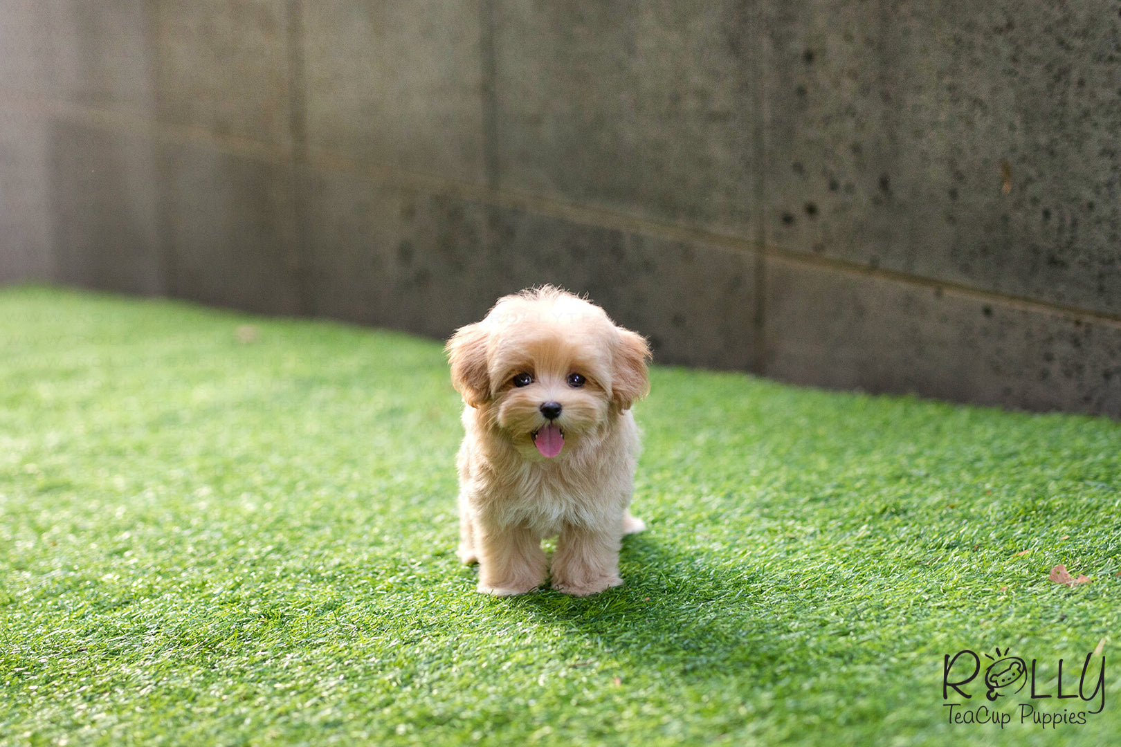 Ready now Beautiful cockapoo x toy poodle Girl | Tamworth ... |Teacup Cockapoo