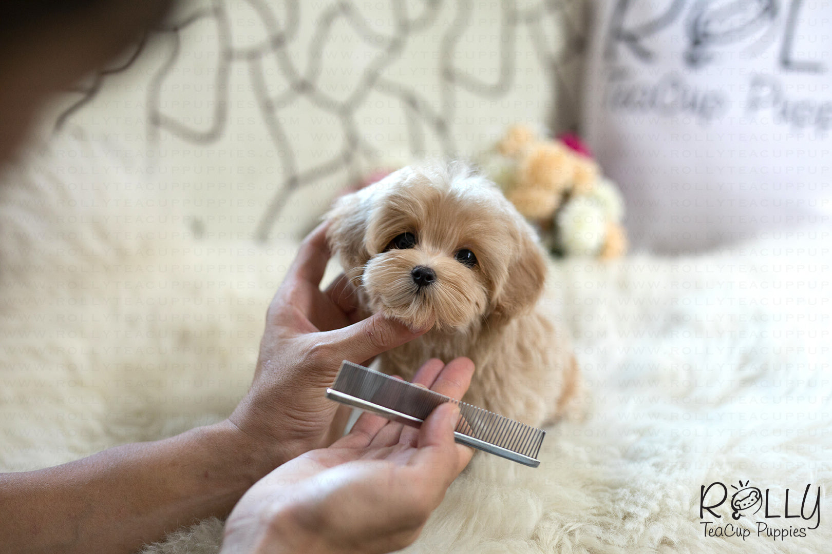 Sold To Loo Ginger Cockapoo F Rolly Pups Inc
