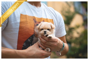 (PURCHASED by Hu) GINGER - Maltipoo. F - Rolly Teacup Puppies - Rolly Pups