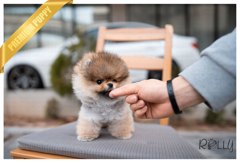 (PURCHASED by Morrell ) Ginger - Pomeranian. F - Rolly Teacup Puppies