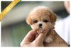 (Purchased by Cloninger) Ginger - Poodle. F - Rolly Teacup Puppies
