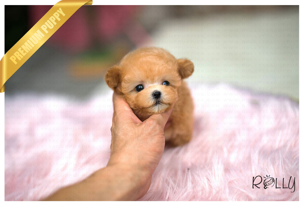(Purchased by Gulia) Ginger - Poodle. F - Rolly Teacup Puppies