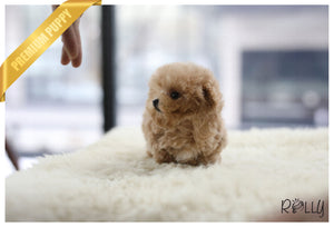 (Purchased by Mak) Ginger - Poodle. F - Rolly Teacup Puppies - Rolly Pups