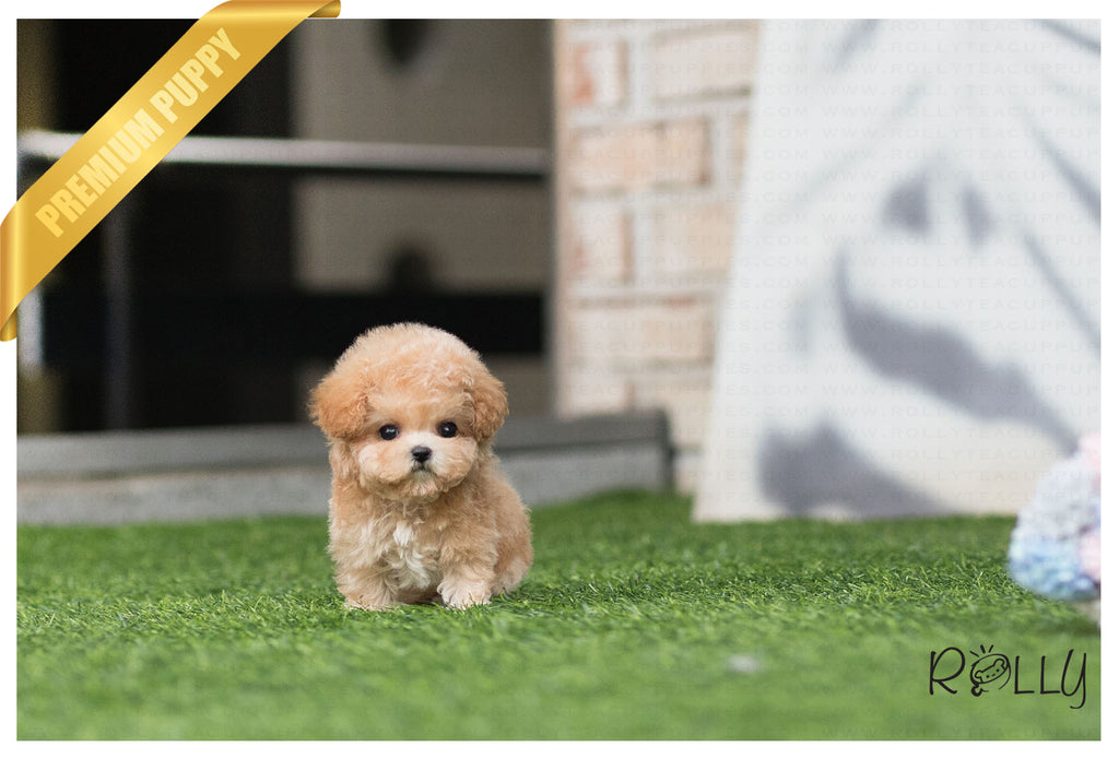 (RESERVED by Cloninger) Ginger - Poodle. F - Rolly Teacup Puppies