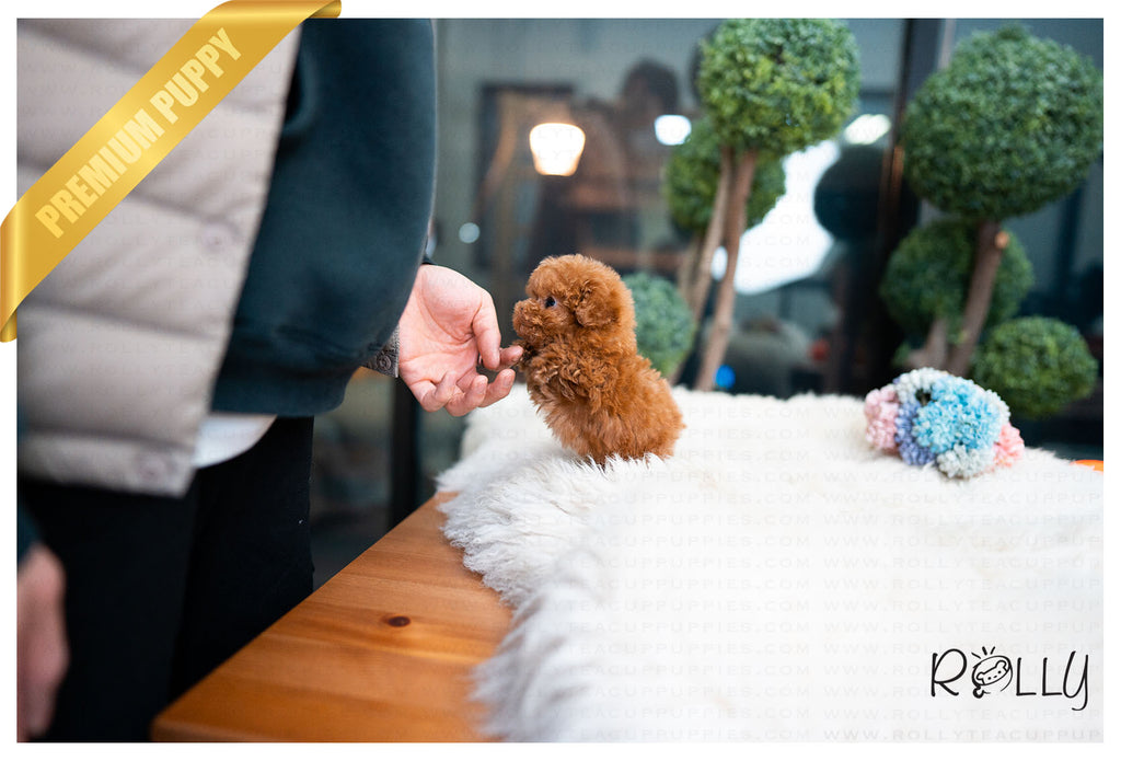 (Purchased by Herzfeld) Ginger - Poodle. F - Rolly Teacup Puppies