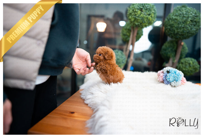 (Purchased by Herzfeld) Ginger - Poodle. F - Rolly Teacup Puppies - Rolly Pups