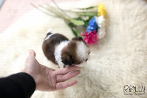 (Purchased by Kim) Gizmo - Shih Tzu. F - Rolly Teacup Puppies