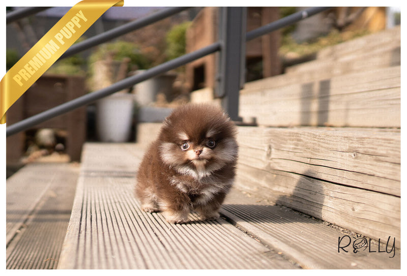 (RESERVED by Vazquez) HERSHEY - Pomeranian. F - ROLLY PUPS INC