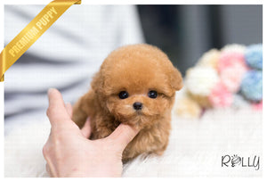 (Purchased by Rivers) Bobo - Poodle. M - Rolly Teacup Puppies - Rolly Pups
