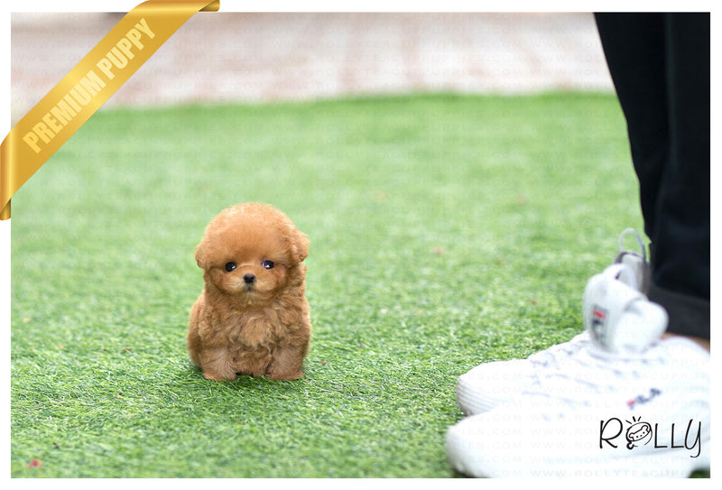(Purchased by Rivers) Bobo - Poodle. M - Rolly Teacup Puppies