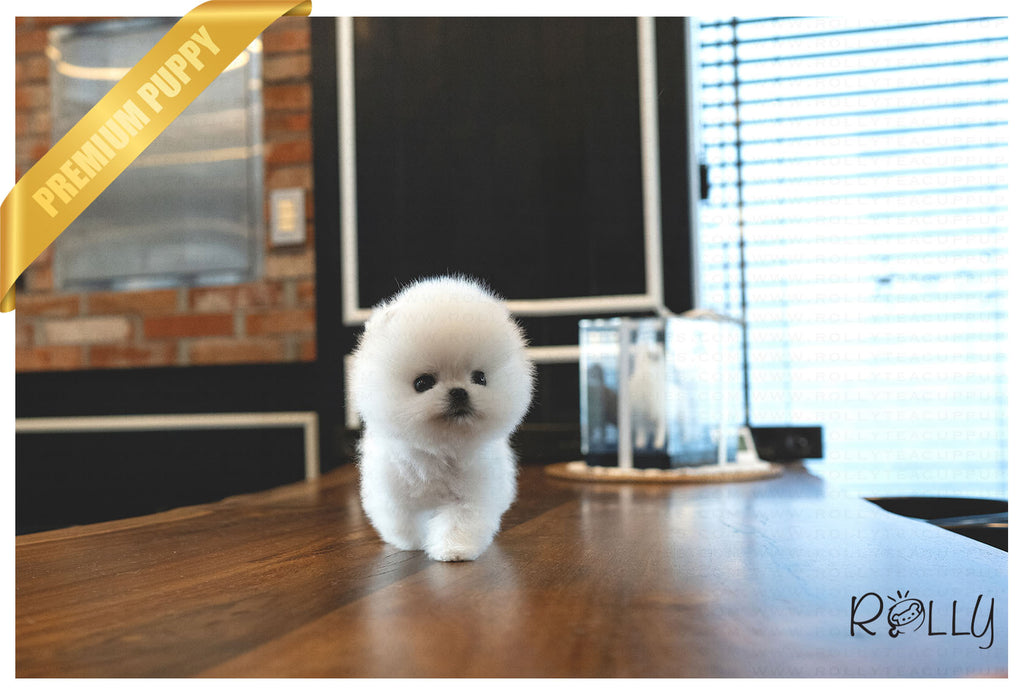 (Purchased by Mougel) Haribo - Pomeranian. M - ROLLY PUPS INC