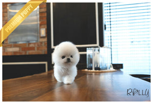 (Purchased by Mougel) Haribo - Pomeranian. M - Rolly Teacup Puppies - Rolly Pups