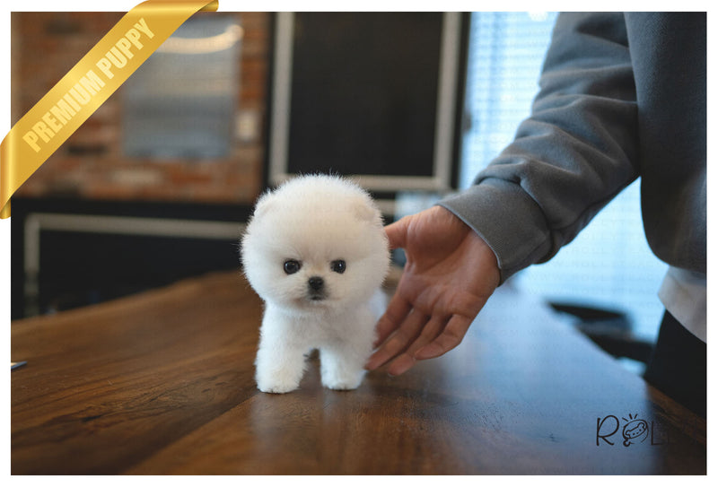 (Purchased by Mougel) Haribo - Pomeranian. M - Rolly Teacup Puppies