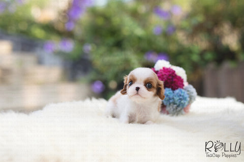 (RESERVED by a Carles)Harley - King Charles. M - Rolly Teacup Puppies
