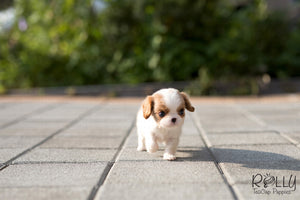 (Purchased by a Carles) Harley - King Charles. M - Rolly Teacup Puppies