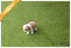 (Purchased by Arie)Hazel - King Charles. F - Rolly Teacup Puppies - Rolly Pups