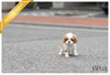 (Purchased by Arie)Hazel - King Charles. F - Rolly Teacup Puppies