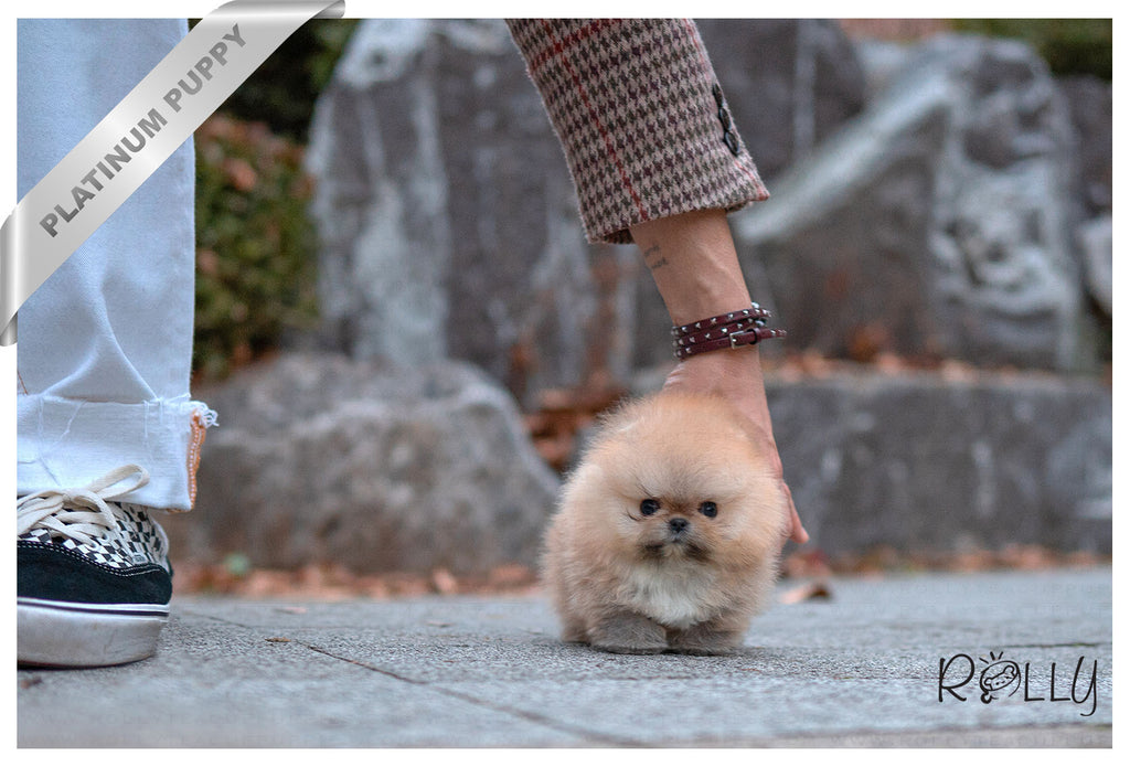 (PURCHASED by KING) HERMES - Pomeranian. F - ROLLY PUPS INC