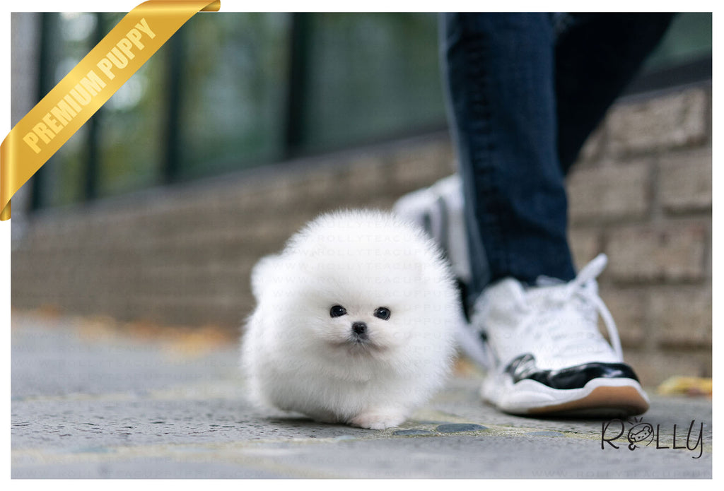 (Purchased by Velasquez) Hero - Pomeranian. M - ROLLY PUPS INC