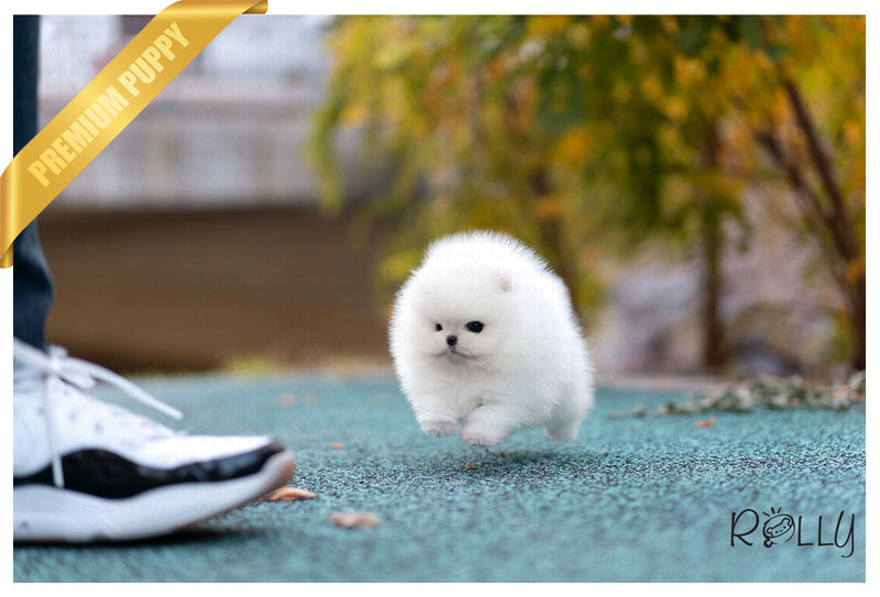 (Purchased by Velasquez) Hero - Pomeranian. M - Rolly Teacup Puppies