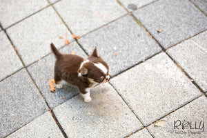(SOLD to Coltri) Hershey - Chihuahua. M - Rolly Teacup Puppies - Rolly Pups