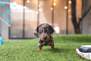 (Purchased by Stout) HERSHEY - Dachshund. M - Rolly Teacup Puppies - Rolly Pups