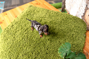 (Purchased by Stout) HERSHEY - Dachshund. M - Rolly Teacup Puppies