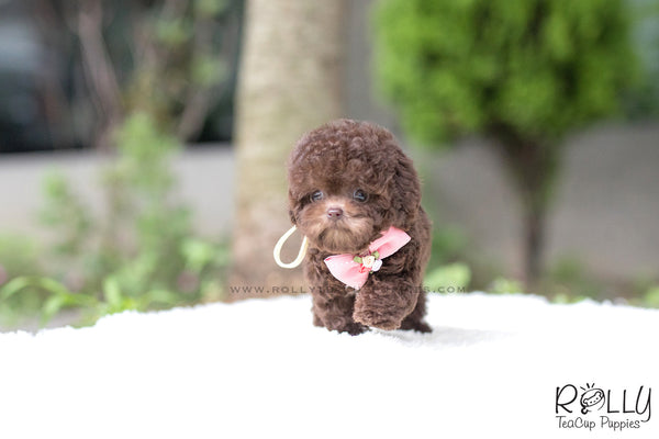 Hershey - Poodle. F