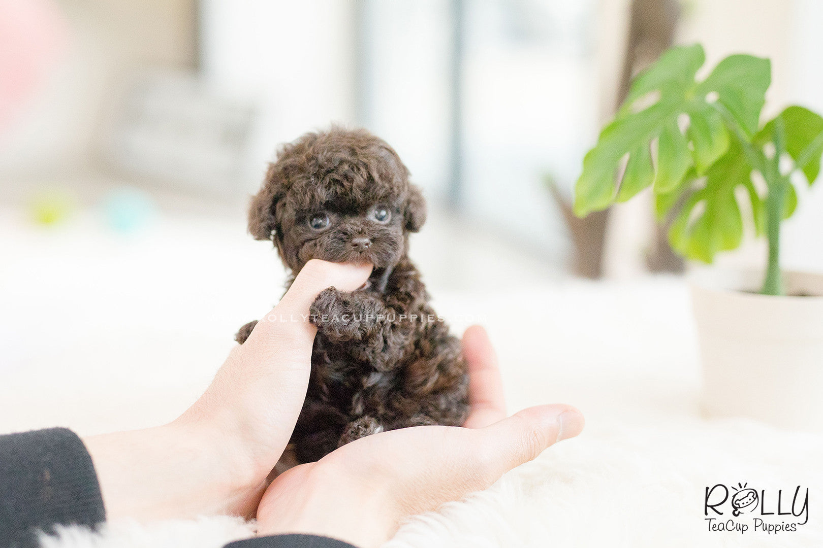 SOLD to Font) Hershey - Poodle  M– Rolly Teacup Puppies