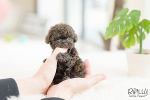 (SOLD to Font) Hershey - Poodle. M - Rolly Teacup Puppies - Rolly Pups