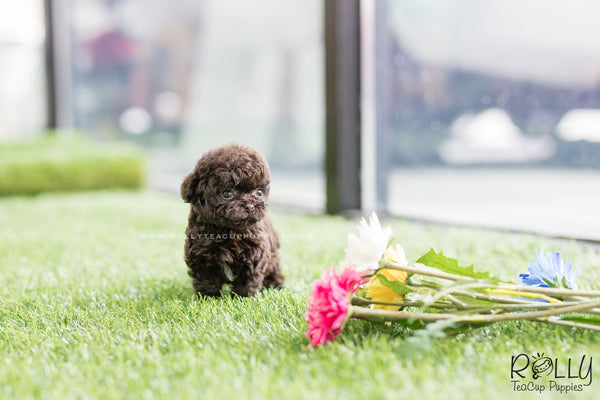 (SOLD to Font) Hershey - Poodle. M - Rolly Teacup Puppies