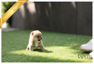 (Reserved by Kim) Hiro - Shiba Inu. M - Rolly Teacup Puppies