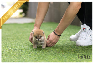 (Purchased by Kim) Hiro - Shiba Inu. M - ROLLY PUPS INC