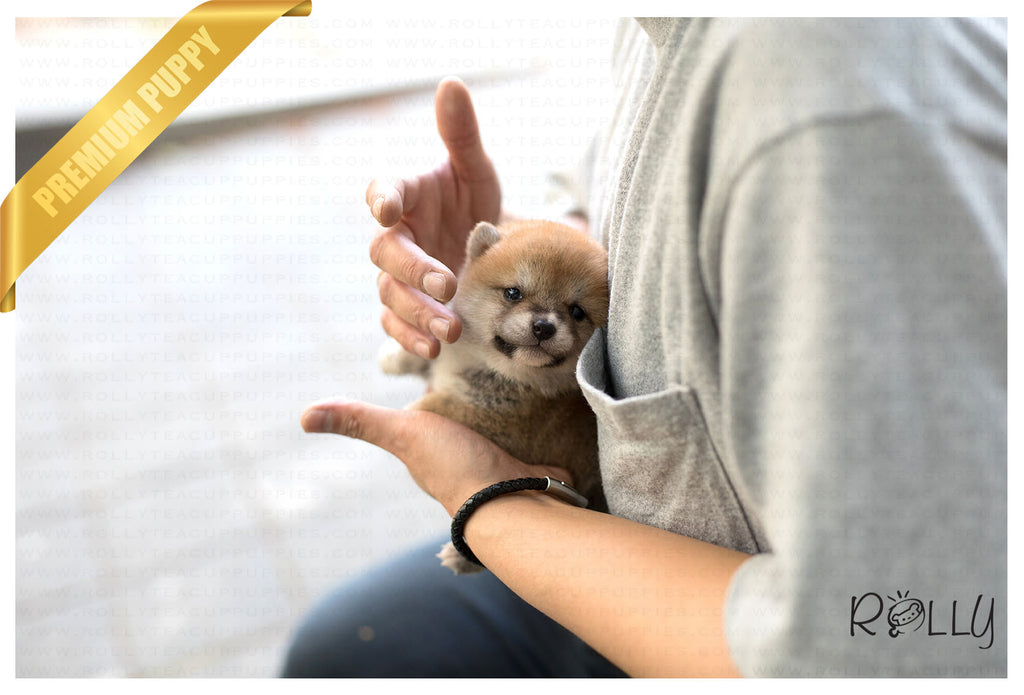 (Purchased by Kim) Hiro - Shiba Inu. M - Rolly Teacup Puppies