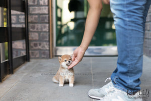 (SOLD to Li) Hiro - Shiba Inu. M - Rolly Teacup Puppies