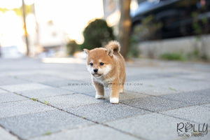 (SOLD to Li) Hiro - Shiba Inu. M - Rolly Teacup Puppies - Rolly Pups