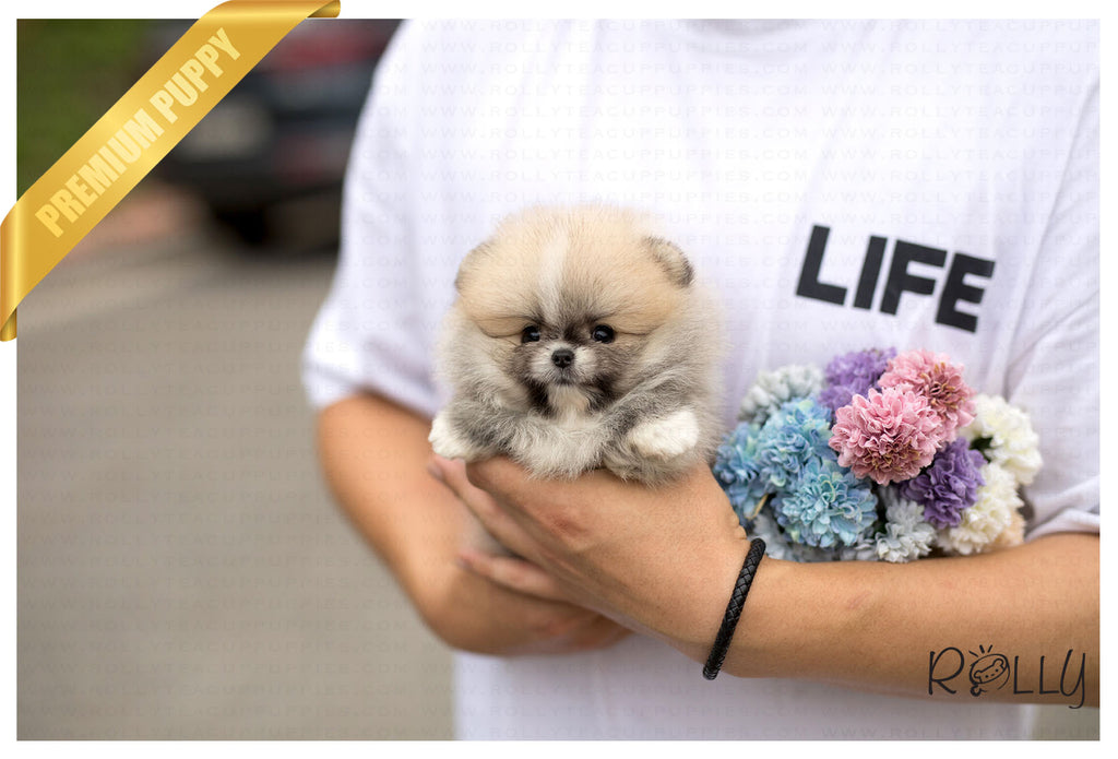 (Purchased by Vu) Honey - Pomeranian. F - ROLLY PUPS INC