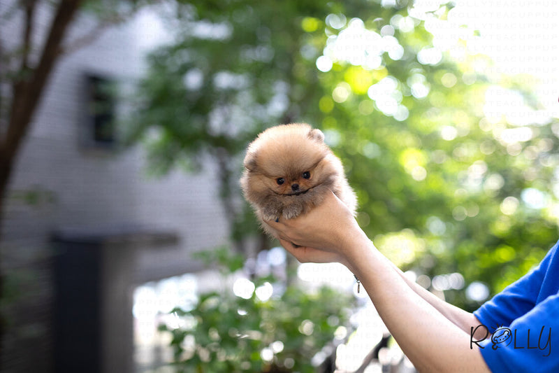 (Purchased by Gill)Honey - Pomeranian. F - Rolly Teacup Puppies