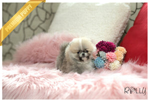 (Purchased by Vu) Honey - Pomeranian. F - Rolly Teacup Puppies