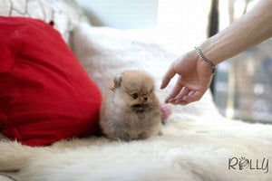 (Purchased by Gill)Honey - Pomeranian. F - ROLLY PUPS INC