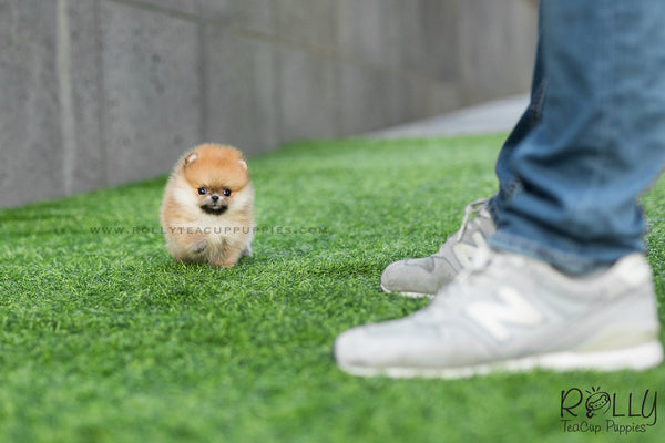 (SOLD to Santiago) Honey - Pomeranian. F