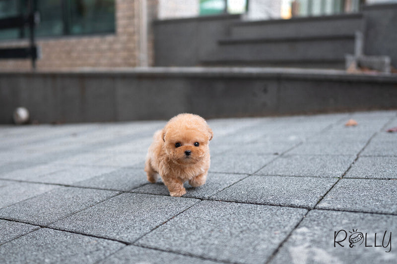(Purchased by Watkins) Honey - Poodle. M - Rolly Teacup Puppies