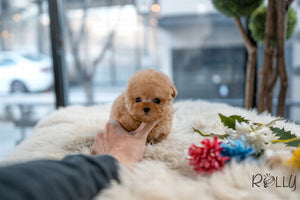 (Reserved by Watkins) Honey - Poodle. M - Rolly Teacup Puppies