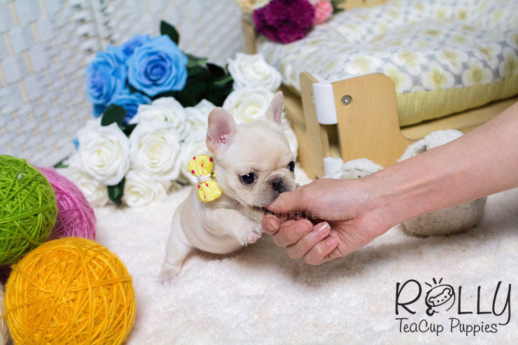 Hope - French Bulldog - Rolly Teacup Puppies - Rolly Pups