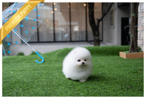 (Purchased by Duenas) HUDSON - Pomeranian. M - ROLLY PUPS INC