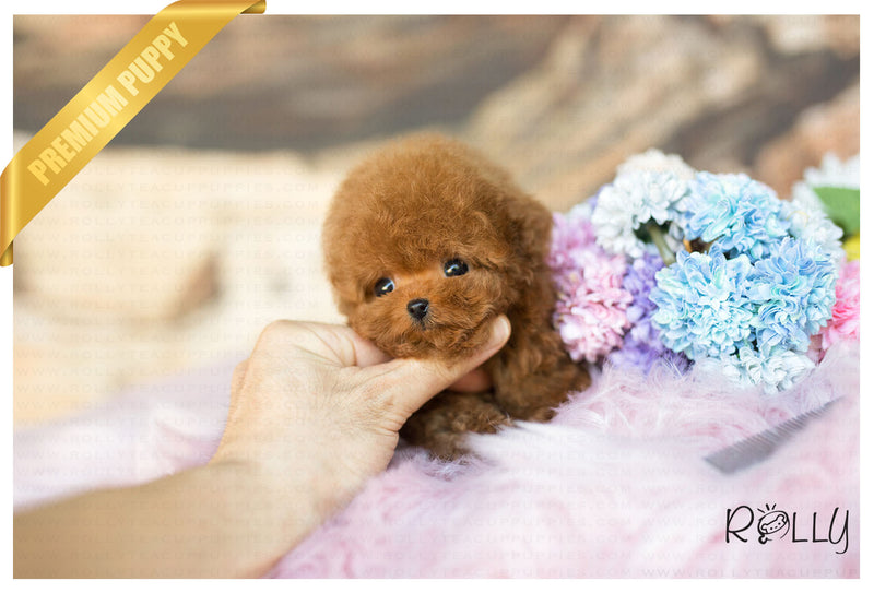 (Purchased by Dang) Hudson - Poodle. M - Rolly Teacup Puppies - Rolly Pups