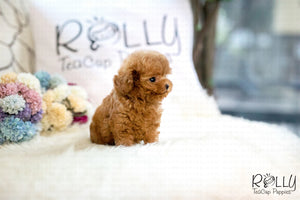 (SOLD to T) Huggie - Poodle. F - Rolly Teacup Puppies - Rolly Pups