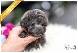 (Purchased by Orozco) Hugo - Poodle. M - Rolly Teacup Puppies